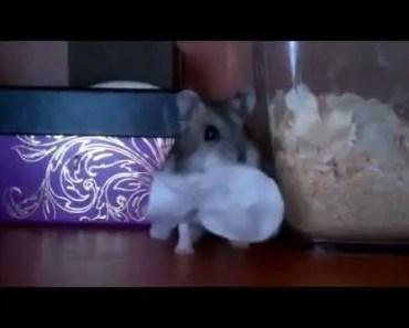 Funny hamster stolen swab - funny hamster stolen swab