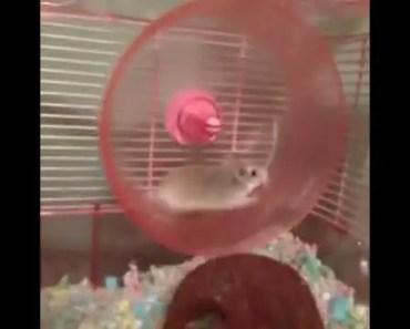 Funny Jogging Rat Funny Videos HILARIOUS HAMSTER WHEEL FAIL VINE! - funny jogging rat funny videos hilarious hamster wheel fail vine