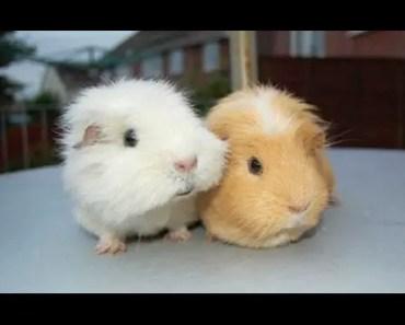 Guinea Pigs - A Funny And Cute Guinea Pig Videos Compilation    NEW HD - guinea pigs a funny and cute guinea pig videos compilation new hd