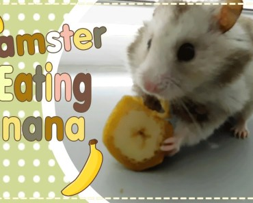 Hamster funny eating banana - hamster funny eating banana
