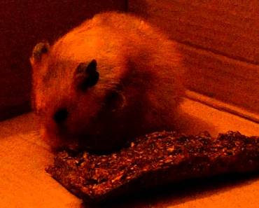 Hamster Gets Scared and jumps ..CUTE - hamster gets scared and jumps cute