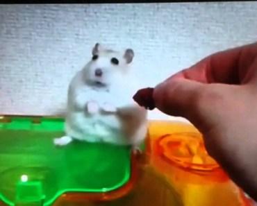 Hamster got mad - hamster got mad