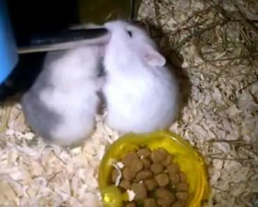 Hamster passionate kiss | Funny Hamster | Hamster Cute Pets | Pets - hamster passionate kiss funny hamster hamster cute pets pets