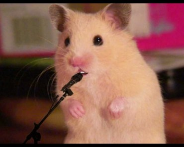 Hamster singing Mrs. EMMA the HAMSTER (3) my Song - re. DSDS KIDS 2012 - hamster singing mrs emma the hamster 3 my song re dsds kids 2012