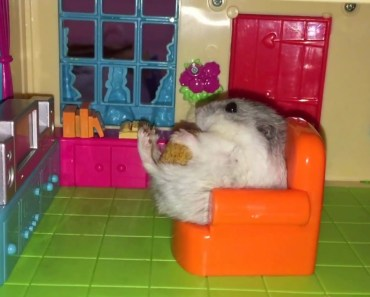 Happy Hamsters & their Apartment Life! - happy hamsters their apartment life