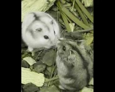 Hilarious Hamster Ringtone - hilarious hamster ringtone