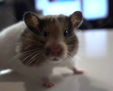 Lustiger Hamster in Slow Motion (Zeitlupe) - lustiger hamster in slow motion zeitlupe