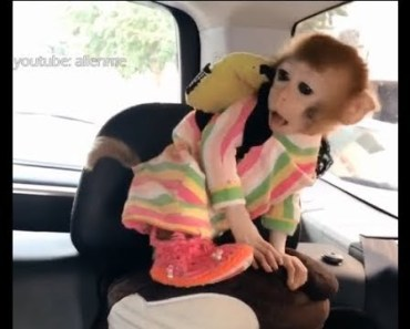 My cutest pocket monkey Huahua's new cute video- Funny and Cute Animals Video - my cutest pocket monkey huahuas new cute video funny and cute animals video