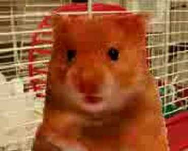 ORIGINAL swearing harry the hamster dating video - original swearing harry the hamster dating video