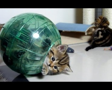 Please do not shoot! Cute and funny Kitten in Hamster Ball - please do not shoot cute and funny kitten in hamster ball