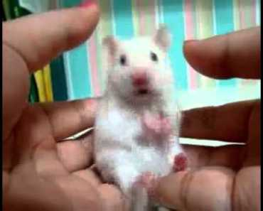 Shocked Hamster!!! (Hamster Version Of Shocked Cat) - shocked hamster hamster version of shocked cat