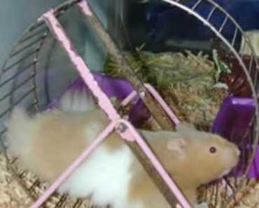 Signs of wet tail (IMPORTANT FOR ALL HAMSTER OWNERS!!) - signs of wet tail important for all hamster owners