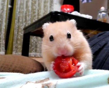 Small Tomato and little funny hamster Is So Cute! - small tomato and little funny hamster is so cute