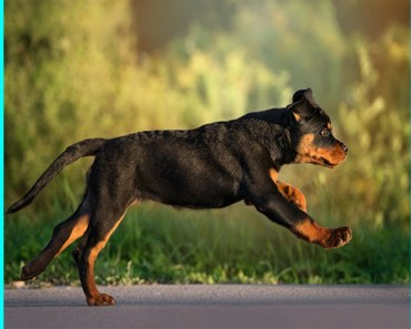 ||Smart Rottweiler dog breed|| FUNNY and CUTE ANIMALS - smart rottweiler dog breed funny and cute animals