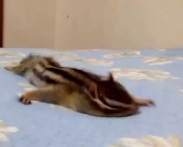 Squirrel enjoys the fresh sheets | funny animal videos! - squirrel enjoys the fresh sheets funny animal videos