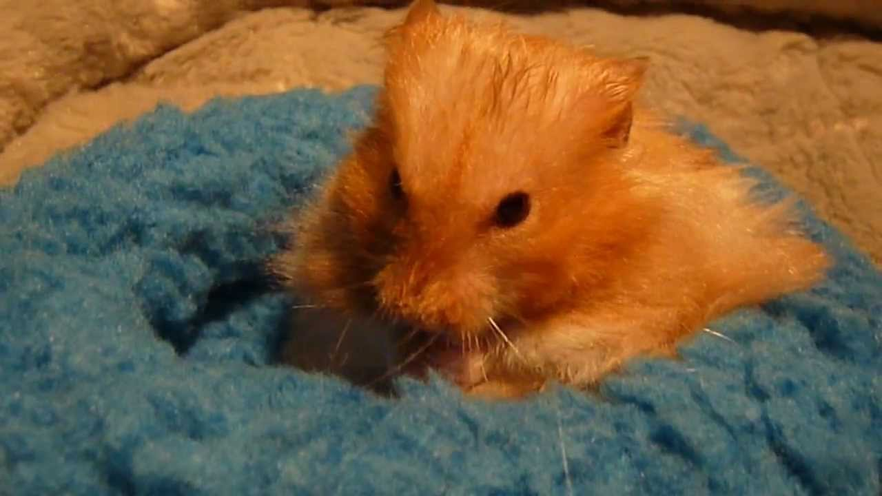 Teddy Bear Hamster, Cute Hamster, Golden Hamster, Syrian Hamster, washing  hamster