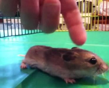 The Chinese Dwarf Hamster - the chinese dwarf hamster