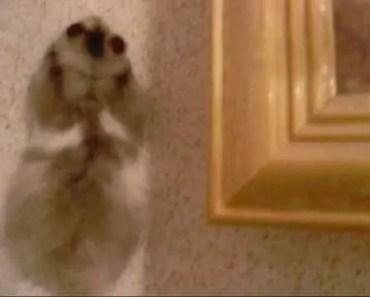 The wall-climbing hamster - the wall climbing hamster