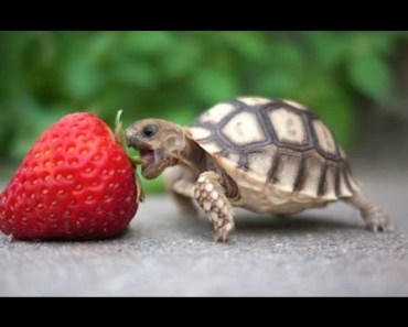Turtle / Tortoise - A Funny Turtle And Cute Turtle Videos Compilation || NEW HD - turtle tortoise a funny turtle and cute turtle videos compilation new hd