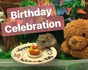 [wukong_qq] Hamster Birthday Celebration Pt 1 | Cute and Funny Hamster Video - wukong qq hamster birthday celebration pt 1 cute and funny hamster video