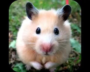 CUTE HAMSTER - 1510548866 cute hamster