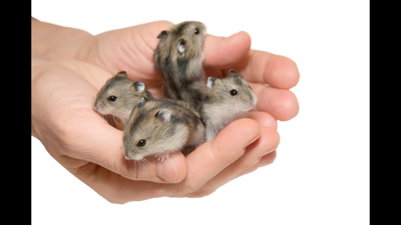 Adorable and Cute Baby Hamsters Compilation HD Hamster Care