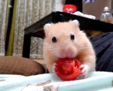 Behavior of funny hamsters getting tired of carrots - behavior of funny hamsters getting tired of carrots