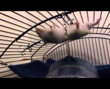 BEST FUNNY ANIMAL OF THE YEAR - HAMSTER acrobat FAIL epic *MUST SEE* - best funny animal of the year hamster acrobat fail epic must see