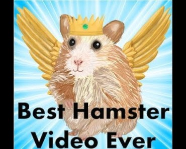 Cutest Hamster Video - Best & Funny Hamsters Ever - cutest hamster video best funny hamsters ever