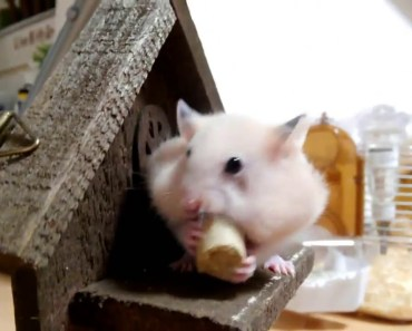 Funny Children hamsters packing big pellets are cute (sf) - funny children hamsters packing big pellets are cute sf