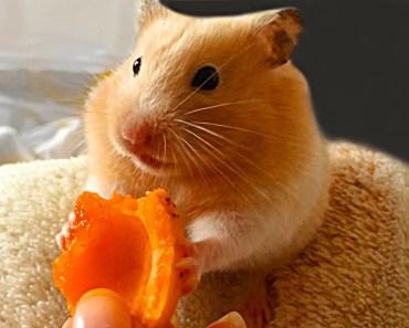 FUNNY + CUTE + PET = HAMSTER - funny cute pet hamster