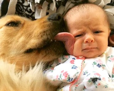 Funny Golden Retriever and Baby Compilation 2017 - funny golden retriever and baby compilation 2017