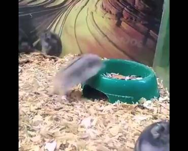 funny hamster doing backflips - funny hamster doing backflips