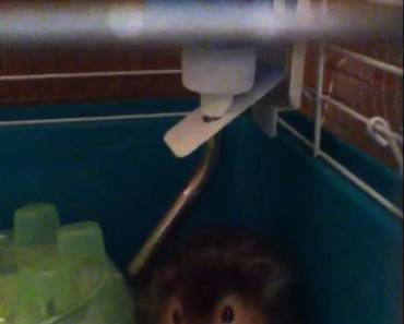 !!!FUNNY!!! HAMSTER GETS SCARED FROM KISSING SOUNDS!!!!! - funny hamster gets scared from kissing sounds