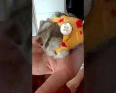 Funny hamster wearing a mini bag!! - funny hamster wearing a mini bag