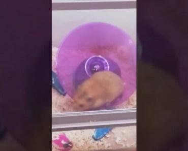 Funny Syrian Hamster - funny syrian hamster