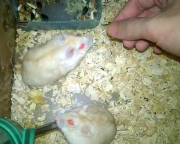 Hamster Yellow - hamster yellow