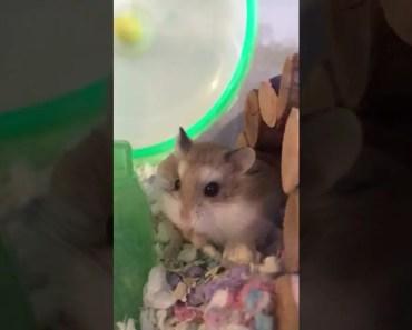 Hungry hamster - hungry hamster