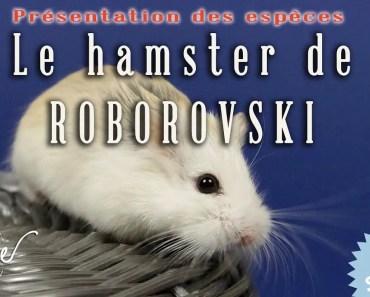 Le hamster de roborovski : présentation - le hamster de roborovski presentation
