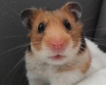 MÓJ ŚMIESZNY CHOMIK - FUNNY HAMSTER - moj smieszny chomik funny hamster