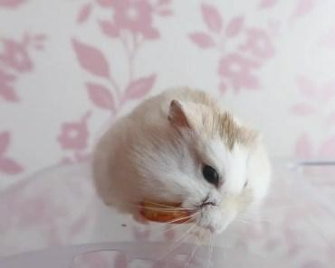 MY DWARF HAMSTER DIET   Malica Hamilton - my dwarf hamster diet malica hamilton