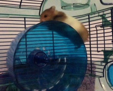 My New Hamster Doesn't Know How To Use Her Wheel Right - my new hamster doesnt know how to use her wheel right