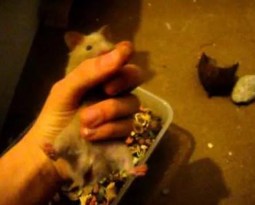 Śmieszny chomik syryjski/Funny hamster - smieszny chomik syryjskifunny hamster