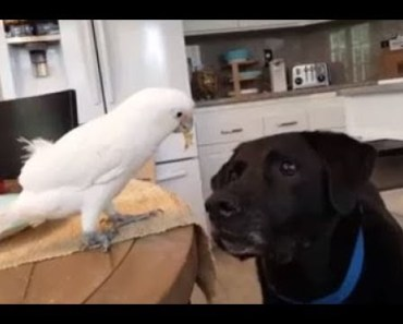 Top Funny Parrots Annoying Dogs Compilation 2017 - Cute Birds - top funny parrots annoying dogs compilation 2017 cute birds