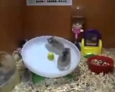 Hamster Funny - 1513122254 hamster funny