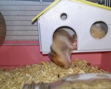 Funny Hamster - 1513392700 funny hamster