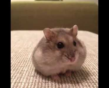 a funny hamster - a funny hamster