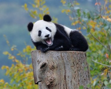 Baby Pandas - Top Cutest Panda Bear Videos Compilation 2017 [BEST OF] - baby pandas top cutest panda bear videos compilation 2017 best of
