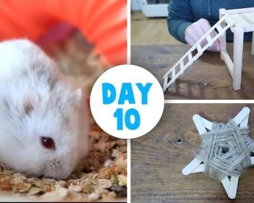 Chubby Hamster Cuteness | DIY Platform | Vlogstice 2017 - chubby hamster cuteness diy platform vlogstice 2017