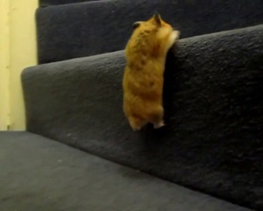 Cute and Adorable Hamster Tricks - Climbing Stairs, Peeling & Eating Sunflower seeds, Dribble Ball) - cute and adorable hamster tricks climbing stairs peeling eating sunflower seeds dribble ball